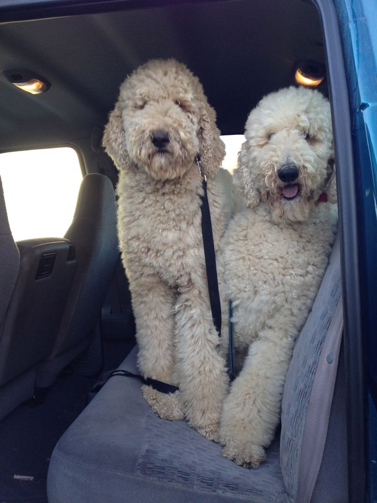 Standard poodles with simple cuts. I like them better this way than the show cuts.