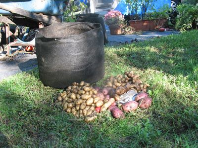 how to grow potatoes in sacks