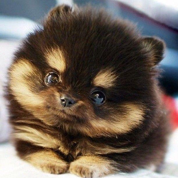 I want u, cutiepie #pomperanian #cute #cutie #cutiepie