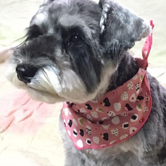 🌱 まつげビューラーでくるんってしてくれない? 、 #犬#シュナスタグラム#シュナウザー#ミニチュアシュナウザー#ミニシュナ#ソルトアンドペッパー#シュナちゃん#犬バカ部#愛犬#犬のいる暮らし#まつげ#いつも一緒#schnauzer#dogstagram#dog#髭犬#ぷちすたぐらむ#❤️