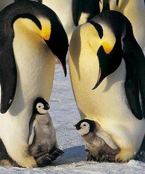 Mama pinguino o papa llevando su bebe sobre sus patas para que no tomen frio
