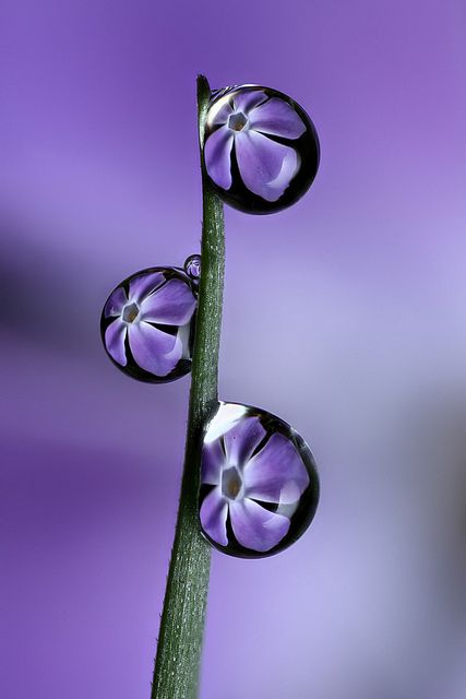 Water Reflections, Water Drops, Nature, Macro Photography, Purple Flowers, Beautiful, Dewdrops, Dew Drops, Water Droplets