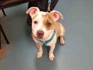 SAFE❤️❤️ 3/14/17 Staten Island VICTORIA – A1105095 **DOH HOLD – VB** SPAYED FEMALE, WHITE / TAN, PIT BULL MIX, 10 mos OWNER SUR – ONHOLDHERE, HOLD FOR DOH-VB Reason BITEANIMAL Intake condition EXAM REQ Intake Date 03/01/2017, From NY 10301, DueOut Date 03/01/2017