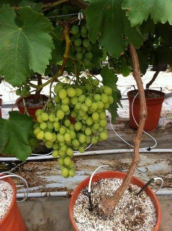 """F.lli Lo Giudice (Gela - CL): """"Abbiamo puntato su un modulo fuori suolo per coltivare uva da tavola"""" - soilless culture in perlite and coco substrate for table grapes"""