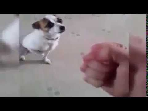 cute dog is boxing and is knocked out...cute pets and animals