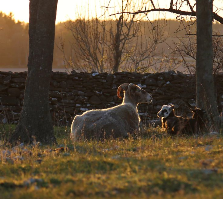 "Traditional gutnic lamb race ""gutefår"". www.gotlandnature.com"