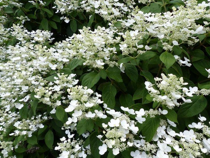 http://faaxaal.forumgratuit.ca/t3637-photo-d-hydrangeacee-hortensia-panicule-hydrangee-paniculee-hydrangea-paniculata-panicled-hydrangea-peegee-hydrangea#6403