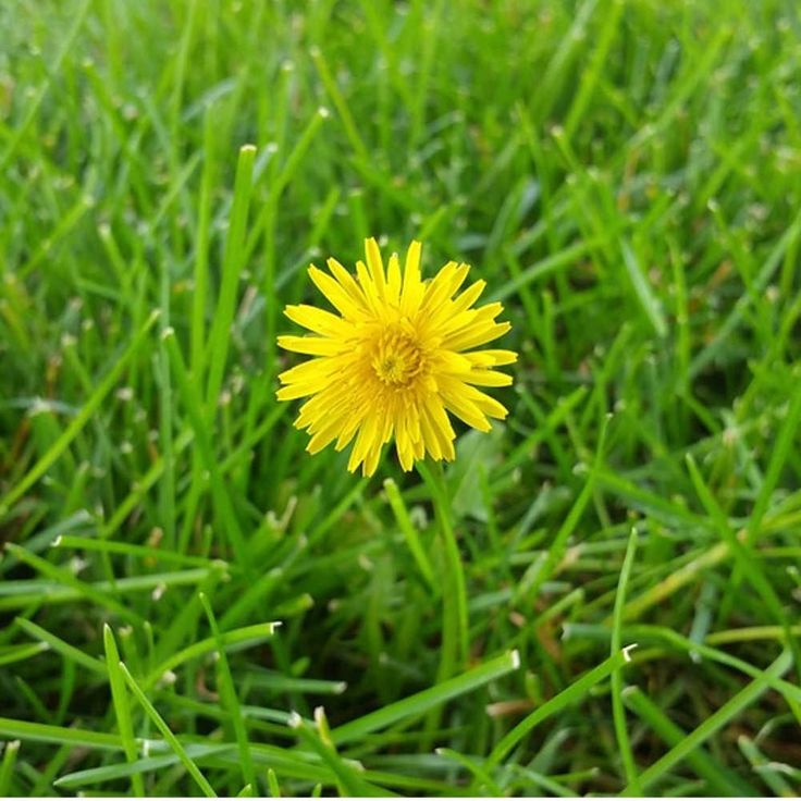 How to get rid of dandelions in the lawn naturally and