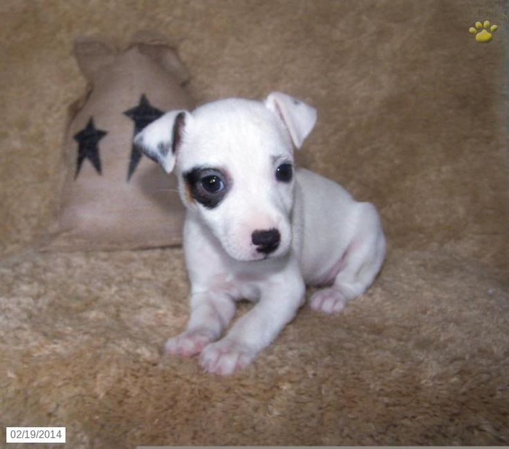 mini jack russell terrier puppies for sale | Check out the other Jack Russell Terrier puppies for sale in PA and ...