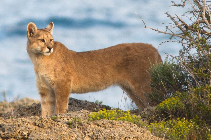 "This photo was taken by our guide Diego Araya last summer in Chilean Patagonia, unfortunately, a few days later this young puma called ""tolo"" was found dead. Visit us at www.ecocamp.travel"