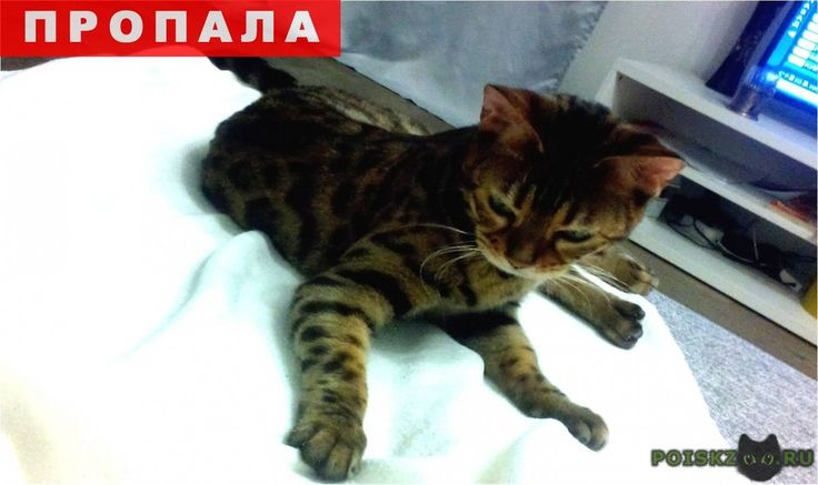 Пропала кошка г.Екатеринбург http://poiskzoo.ru/board/read29396.html  POISKZOO.RU/29396 Бенгальская, окрас коричневый с темными пятнами, гладкошерстная, возраст .. года. Потерялась в районе Шевелева, ... Нашедших кошку или знающих ее местонахождение просьба сообщить. Вознаграждение гарантируем  РЕПОСТ! @POISKZOO2 #POISKZOO.RU #Пропала #кошка #Пропала_кошка #ПропалаКошка #Екатеринбург