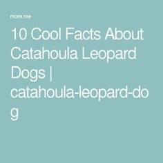10 Cool Facts About Catahoula Leopard Dogs | catahoula-leopard-dog