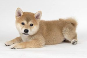 shiba......(....this is the type of dog that my oldest granddaughter has....we have babysat him many times......nice doggie...we love him even if he isn't a Lab....smile).