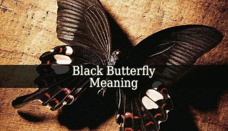 Black Butterfly Meaning The Black Butterflies Are