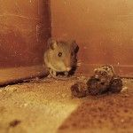 Mouse and Rat Droppings 101