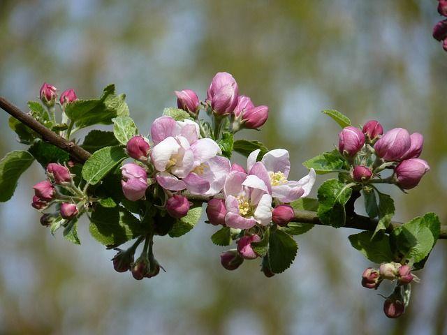 Çiçek, Elma, Bahar, Elma Çiçeği, Elma Ağacı, Doğa