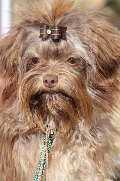 Russian Tsvetnaya Bolonka Dog Breed Information and Pictures