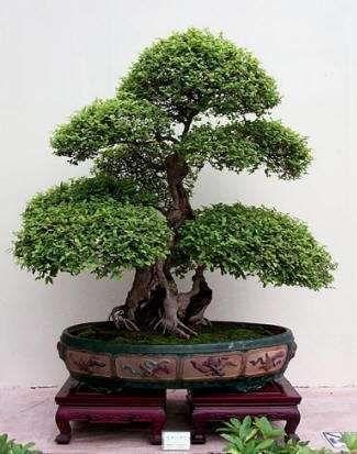 Bonsai - árvores em miniatura - Plantas