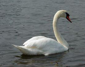 A mute swan swimming.