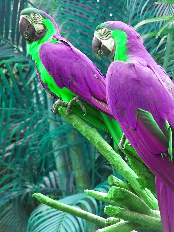 FAKE - Photoshopped purple and green colors on the macaws which are in reality blue and yellow.