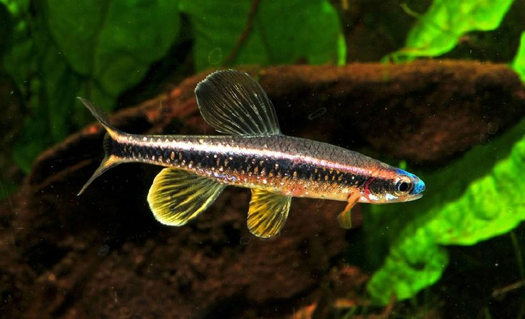 Jonah's Aquarium... Pteronotropis welaka 03, Bluenose Shiner, Cahaba River, Tony Terceira