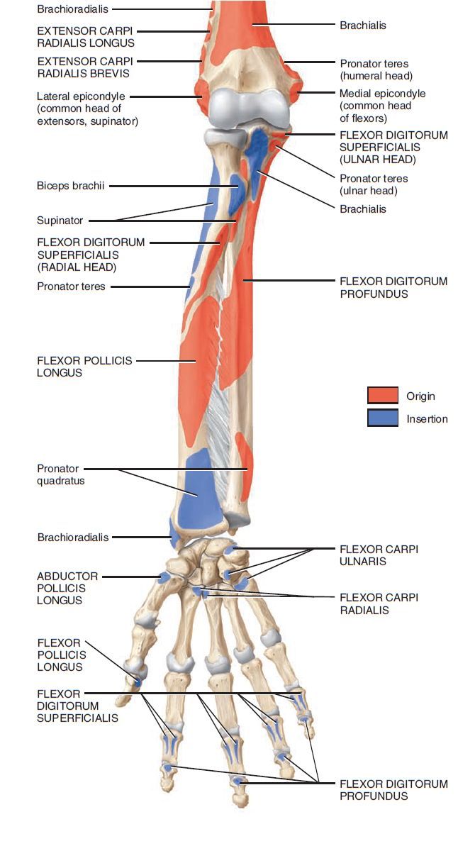 muscles of forearm origin and insertion - Google 검색