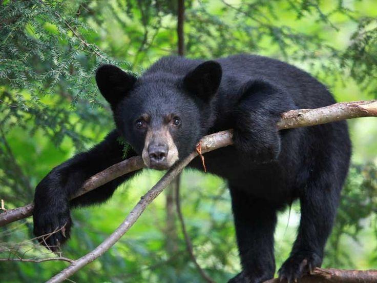 Bear Sanctuaries in Odisha, India @ Sanctuariesindia.com