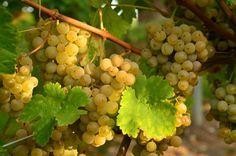 10 заповедей виноградаря
