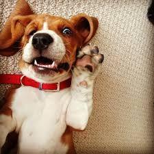 @Batuhan Göksu #beagle #dog #mylove #mylife #dogs #love 2d