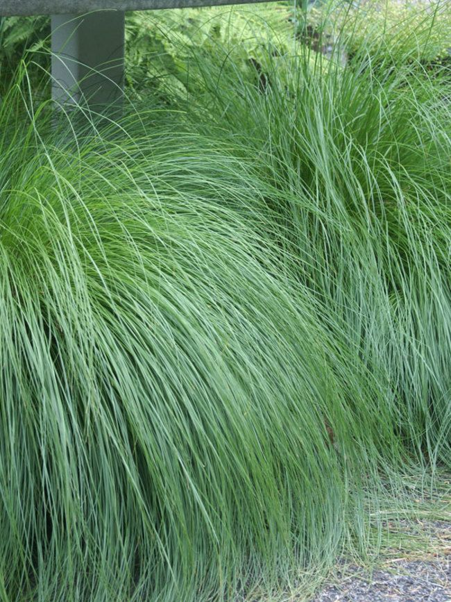 862 best garden flowers vines foliage images on pinterest for Ornamental grasses that grow tall