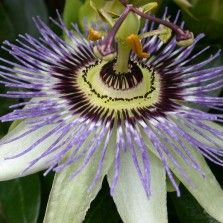 Tanaman Passiflora Ungu (Purple Passion Flower)