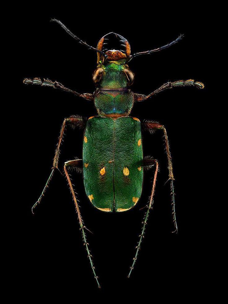 Le photographe commercial Levon Biss s'attache à reproduire d'une façon extrêmement précise les détails de la collection d'insectes du museum d'histoire naturelle d'Oxford. Le musée l'accueille pour une exposition de ses travaux intitulée Microsculptures. Son travail à commencé au départ comme un projet secondaire, pour capturer la beauté des insectes ramenés de promenade par son …