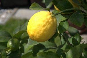 Citron jako superpotravina - pijte místo sladkých šťáv citronovou vodu