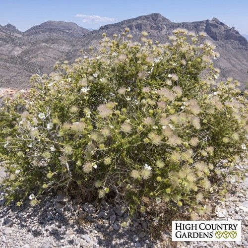 Apache Plume   Fallugia paradoxa   High Country Gardens