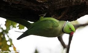 Image result for green birds uk
