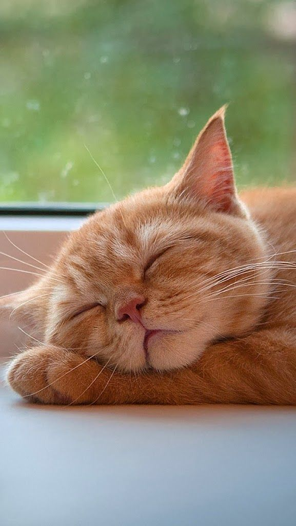 sweet ginger kitty napping