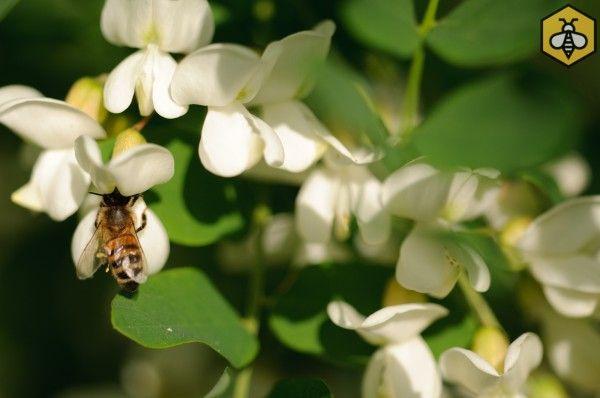 Robinia akcjowa (Robinia pseudoacaccia)