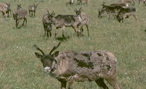 Porcupine caribou herd on their epic migration