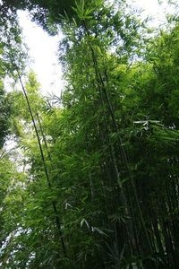 Clumping or Non-Invasive Bamboo Plants thumbnail