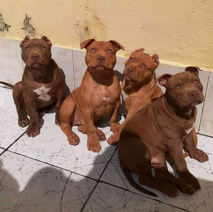 Bully Puppies For Sale Near Me 2021