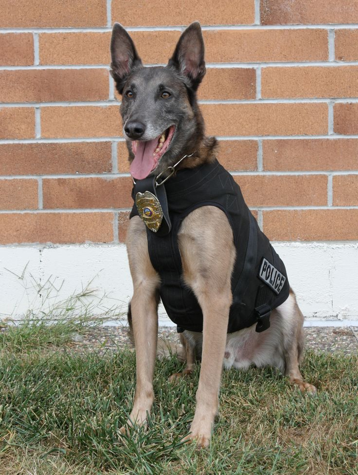 The type of dog I would want to work with if I decide to work with a K9.