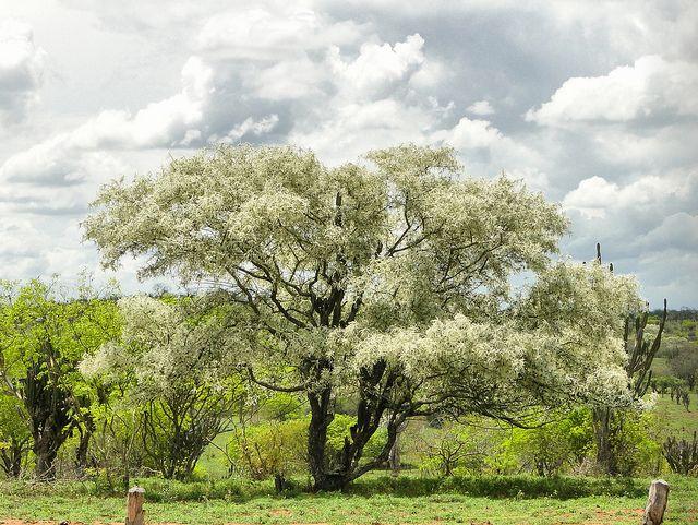 Jurema branca - Pithecellobium diversifolium Benth | por Dilson Santos