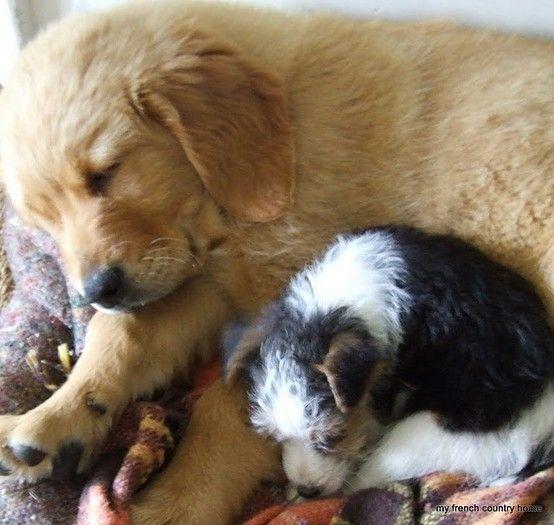 Cutie McCutersons!: Animals, Dogs, Golden Retrievers, Puppy Love, Fox Terriers, Pet, Puppys, Country