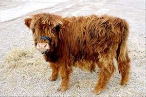 Mini cow.Highland cattle This beautiful mini-cow ...
