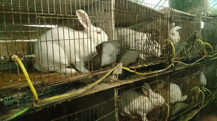 PETA Asia's investigator found that terrified rabbits lived in urine-encrusted cages with faeces piled up underneath them.