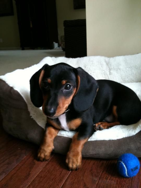 Mini #Dachshund #puppy.