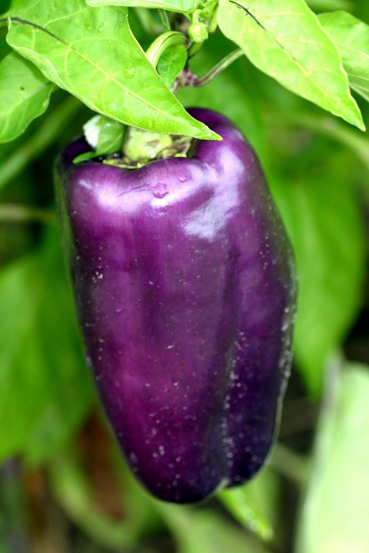 Capsicum annuum varpurple Purple pepper Solanaceae