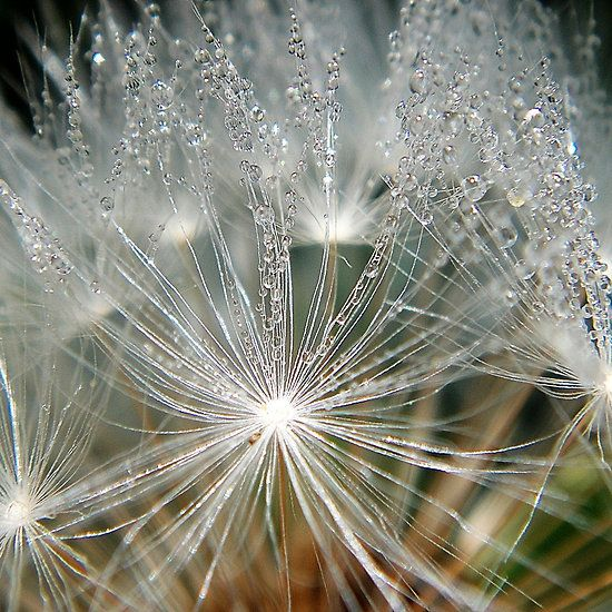 Iphone case waterdrops on a white dandelion  #iphone case #dandelion #waterdrops #cool #beautiful #white #lucent #flower #fotosbykarin