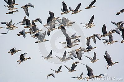 Anser albifrons - big beautiful bird in flight