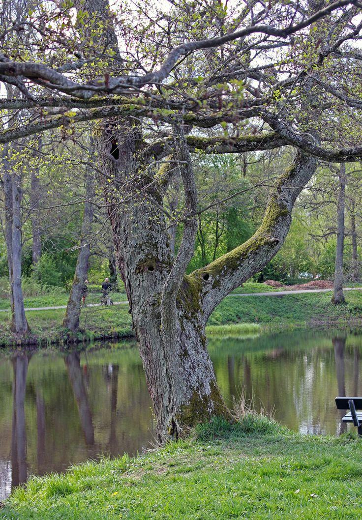 The tree man by the river Svartån. Spring.